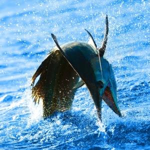 Sailfish comin at you
