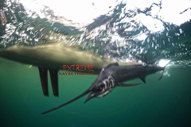 Joe Kraatz's Sailfish.  Photo credit: Jorge Bustamonte