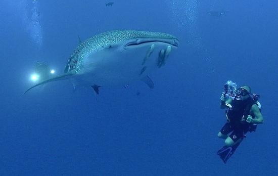 Isla Mujeres Whale Shark Photo: Guy Harvey PhD.