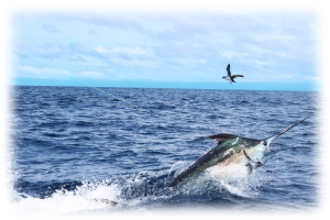 black-marlin-pinas-bay